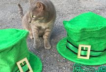St. Patrick's Day / Everyone is a wee bit Irish on St. Patrick's Day!  Even a Siamese!