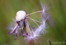 Dandelions / 0