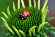 Lady Bug, Lady Bug, Fly away Home. / Who doesn't love lady bugs and what they do for gardens. Who doesn't remember catching them as children and letting them crawl up your arm only to fly away when they seemed like, if only for a moment, a pet. / by Patricia Stautihar