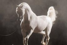 AL MALIIK /  (Marwan Al Shaqab x Maya El Jamaal by Ali Jamaal)  Bred by Taylor Arabians and Owned by Suzanne Acevedo