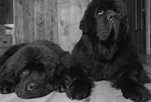 .:Our Newfies:. / Dewey and Izzo, our drool swinging gentle giants that live to chase chipmunks and retrieve boulders from the lake.   / by Tracy Hickman
