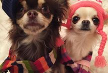 Chihuahuas with clothes 2.