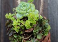 pigna con piante grasse