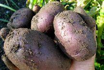 Zahrada / brambory