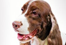 """English Springer Spaniel / The Springer is the place where beauty and utility meet. Standing 19 to 20 inches at the shoulder, and weighing between 40 and 50 pounds, Springers are tough, well-muscled hunters. Their energy, stamina, brains, and smooth """"rear drive"""" movement have earned them an exalted place in the realm of bird dogs. But a Springer— with his smartly marked coat, yearning spaniel expression, and long, lush ears—would be prized for good looks even if he couldn't tell a grouse from a mouse."""