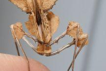 mantis ilginç  canlılar