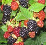 Garden- berries/fruit