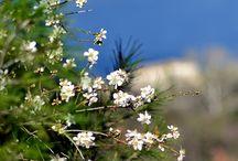 Amande Fleurs d'amandes