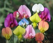 Fröer Blommor