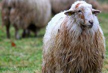 sheep / by pidoubleg