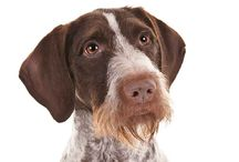 German Wirehaired Pointer / Standing as high as 26 inches at the shoulder, German Wirehaired Pointers are a smidge taller and heavier than their close relative, the German Shorthaired Pointer. GWPs are classically constructed pointers: beautifully balanced, well muscled, resilient, agile, and generally built to beat the bushes all day long without quitting. One breed hallmark is the harsh wire coat that protects against thorny underbrush and foul weather; another is the shaggy beard and eyebrows.