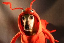 Pets in Costumes
