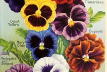 beauty of pansy / viola