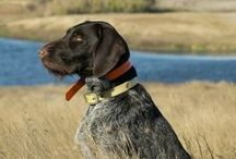 hunting dogs and training dogs