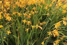 Alternatives to Crocosmia 'Malahide Castle' / Other orange or yellow crocosmia