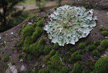 Marchantiophyta / コケ類