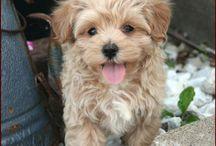 Maltipoo's- future pet? / by Michele Rodrigues Beato