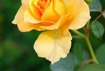 rosas / flores
