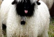 blacknose sheep