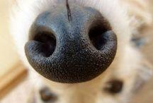 Psie nochale / Dog noses