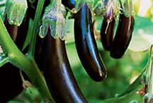 ILoveEggplant! / Information, photos and more about the versatile eggplant. Did you know Ciruli Bros markets many different varieties?