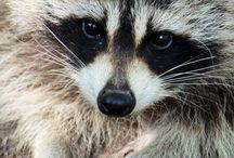 raccoon || my heart