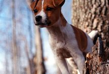 jack russel and other doggies
