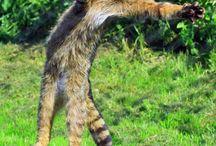 scottish wild cats