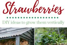 Grow strawberries