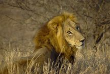 """الحياة البرية أفريقيا ، الحيوانات المفترسة ، فريسة والبيئة الطبيعية. / جمال مذهلة من الحياة البرية الأفريقية. تصور الحيوانات البرية هناك في الحالة الطبيعية . الحيوانات المفترسة و الفريسة أنها مطاردة .  مشاهد الأصوات والروائح من السافانا الأفريقية . أفريقيا """" الخمسة الكبار """" الأسد و الفيل والجاموس و الزرافة ووحيد القرن الحفاظ على الطبيعة."""