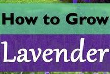 Lavender for my garden