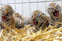 TIGERS!!!