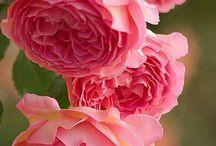 Rosor / Roses