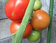 Eigen groenten/fruit  kweken