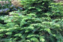 Cephalotaxus harringtonia-Mandzsu áltiszafa