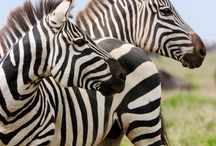 Zebra / Leuke zebra's