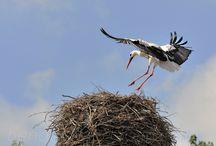 Ooievaar / Ooievaar komt op zijn nest in het ooievaarsdorp liesveld bij groot Ammers