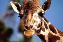 Tapety - zwierzęta - żyrafy