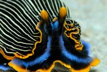 Nudibranch / Nudibranches in all their color