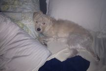 Lily my rattypoo / She is a rat terrier plus poodle mix Rattypoo