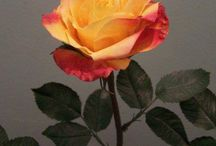 Flores belas do nosso dia a dia