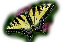 Butterfly Facts and Information / Useful butterfly facts and insightful information on butterflies.