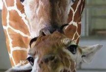 Giraffes ❤️