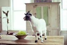i love goats / by The Green Parent