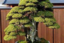 az bonsai