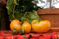 Tomato / by Chicago Botanic Garden