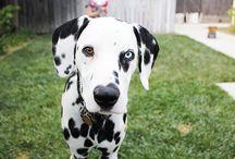 Dogs Dalmatians