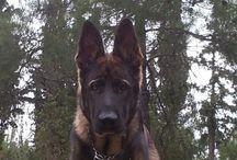 GSD / German shepherd dog
