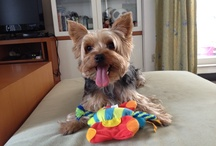Yorkies / All about yorkies