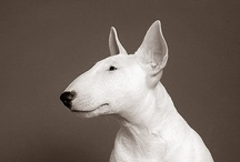 MyBullTerrier.ru / All about English Bull Terriers